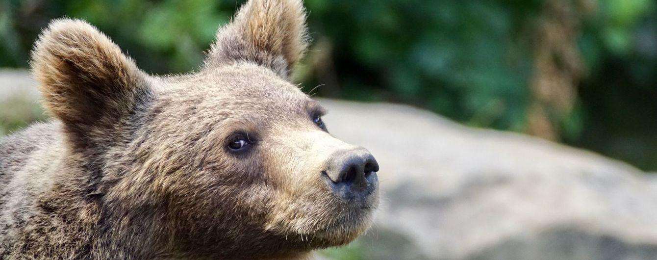 """У Карпатах ведмідь завітав у село, посмакував недоїдками та """"обніс"""" яблуню"""