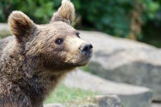 """В Карпатах медведь забрел в село, полакомился объедками и """"обнес"""" яблоню"""