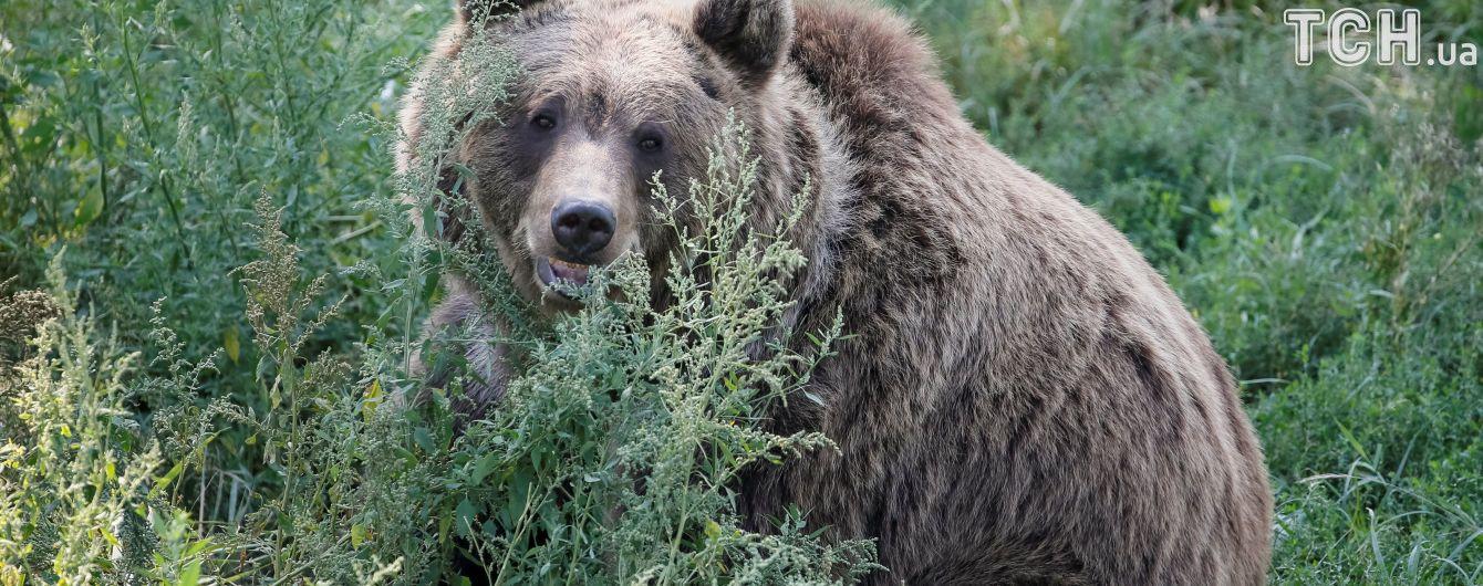 Старушка в Канаде дважды выиграла поединок у медведя