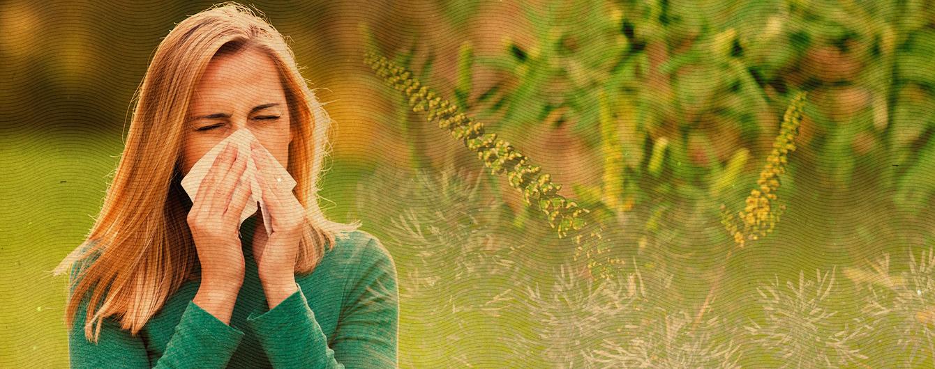 Аллергия на амброзию и полынь. Эффективные советы врача для борьбы с недугом