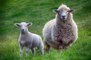 Отару овец, которая две недели сидела в фуре в порту Одессы, уничтожат на спецплощадке