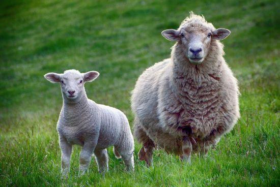 У селі на Тернопільщині невідома істота висмоктала всю кров з восьми овець