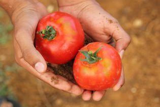 На Хмельнитчине в помидорах из Турции обнаружили личинки опасной томатной моли