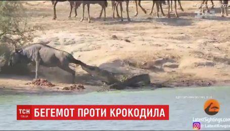 В Южной Африке бегемоты спасли антилопу от крокодила
