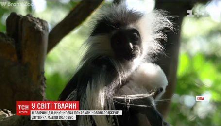В Нью-Йорке показали новорожденного детеныша обезьяны редкого вида колобусы