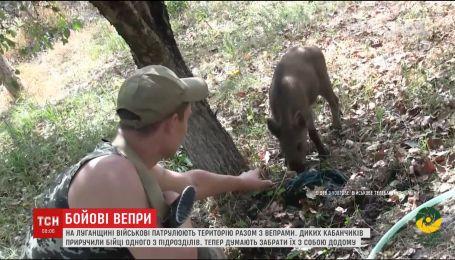 В одном из подразделений на Луганщины военные взяли себе на подмогу диких кабанчиков