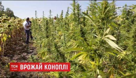 В Хмельницкой области полиция нашла плантацию конопли, спрятанную в подсолнухах