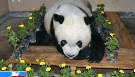 Самая старая панда в мире умерла в Китае
