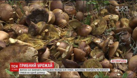 На Житомирщині люди збирають рекордні врожаї грибів