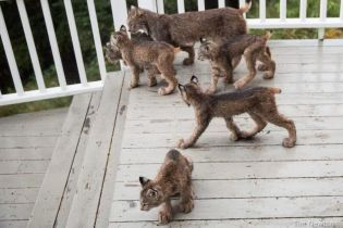 На Аляске фотограф сделал чудесные фотографии рыси, которая пришла к нему в гости со своими котятами