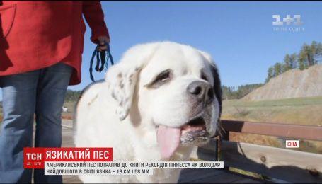 Белый сенбернар Мочи попал в книгу рекордов Гиннеса как пес с самым длинным языком