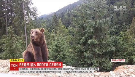 На Прикарпатті величезний бурий ведмідь тероризує горян