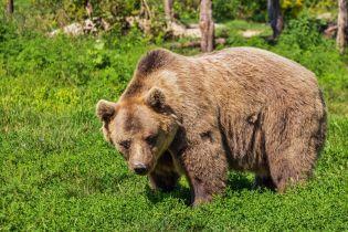 В Прикарпатье огромный бурый медведь открыл сезон охоты на сельских коров