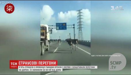 В Китае пятеро страусов устроили гонки между машин на трассе