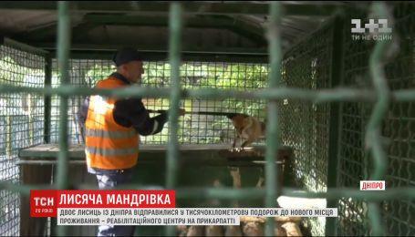 Двох лисиць з Дніпра переселять до реабілітаційного центру диких тварин на Прикарпатті