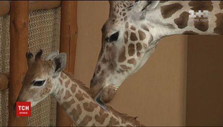 Упевнено бігає і відростив ріжки: у зоопарку під Києвом уперше показали маленьке жирафеня