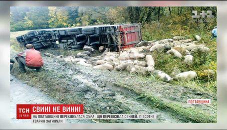 На Полтавщині фура, що везла більше сотні свиней, потрапила у ДТП
