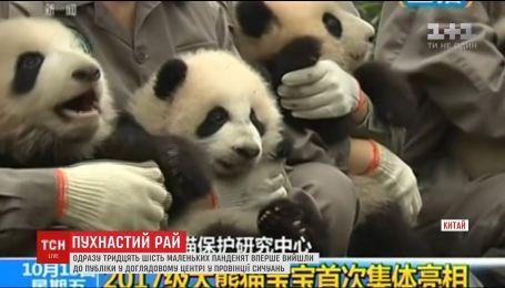 В досмотровом центре провинции Сычуань миру показали 36 маленьких пандочек