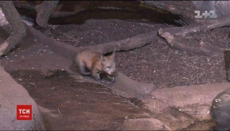 В зоопарке неподалеку Чикаго посетителям впервые показали маленького вомбата