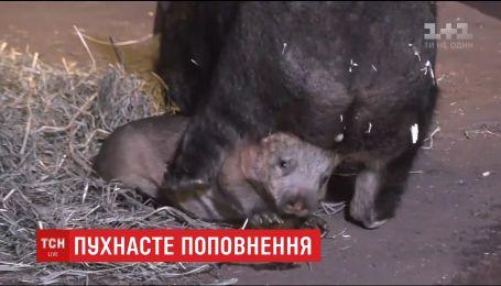 Милое дитя вомбата показали посетителям в американском зоопарке