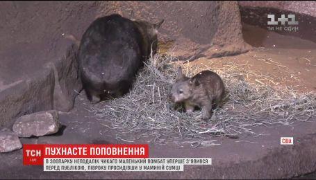 В американському зоопарку маленький вомбат вперше вийшов до відвідувачів