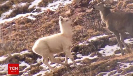 Рідкісного білого лося вперше вдалося відзняти у дикій природі