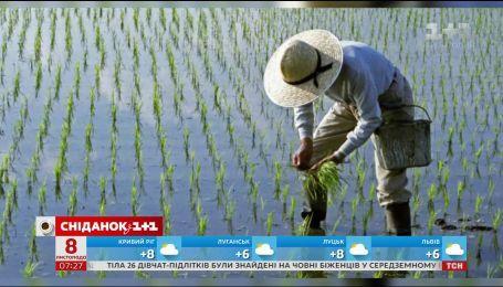 Китайские агрономы вывели рис, который может расти в морской воде