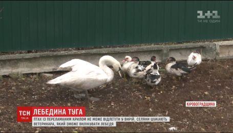 Спасенный в Кировоградской лебедь плачет, потому что не может улететь в теплые края