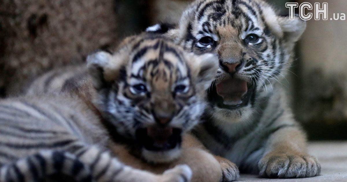 Невпевнено чалапають, але грізно шиплять: у Празі показали рідкісних малайських тигренят
