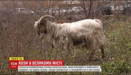 Кози у великому місті. В Києві посеред багатоповерхівок пасуться кози і вівця