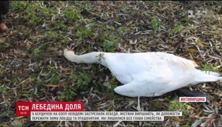 У Бердичеві  на озері вандали застрелили лебедя