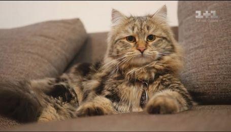 Про наших улюбленців. Сибірська кішка - стримана і ненав'язлива