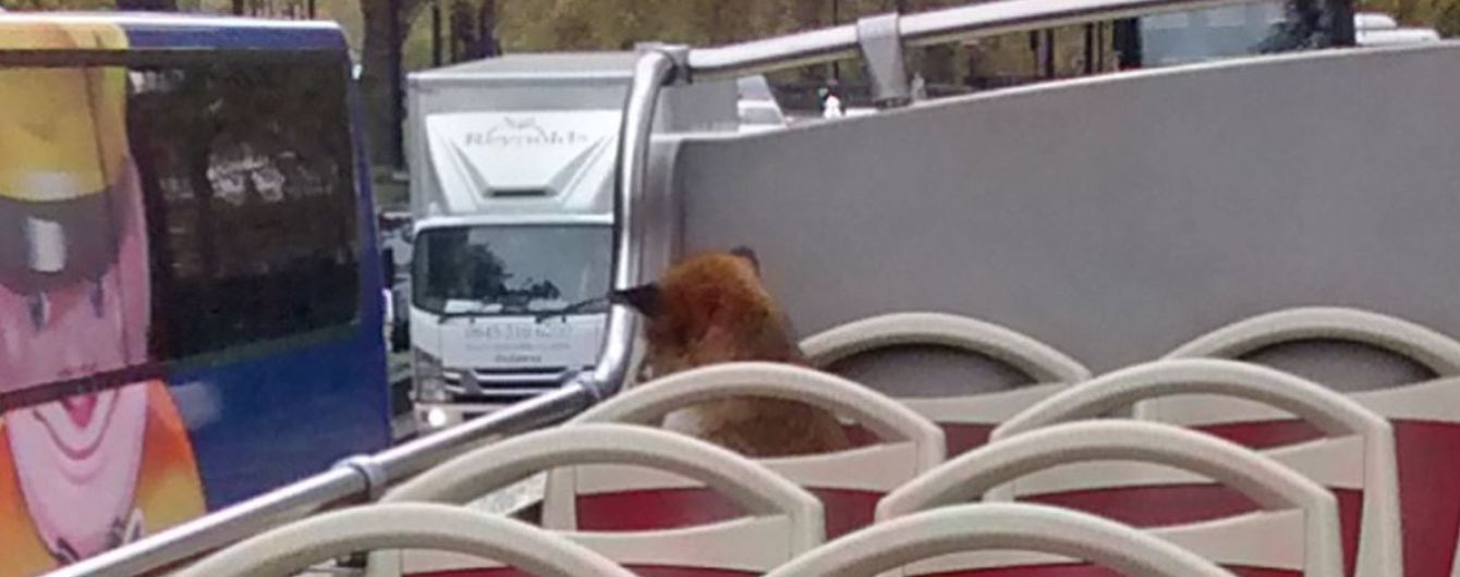 """""""Пушистая экскурсия"""": лисица стала пассажиром Лондонского автобуса"""