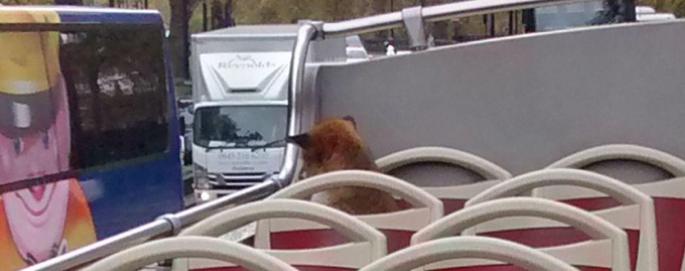 """Пухнаста екскурсія"": лисиця стала пасажиром Лондонського автобуса"