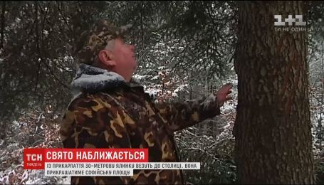 Із Прикарпаття до столиці везуть 30-метрову новорічну ялинку