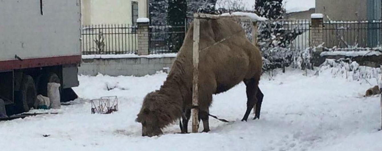 """На Тернопільщині посеред стадіону грузинський цирк """"залишив перезимувати"""" верблюда"""