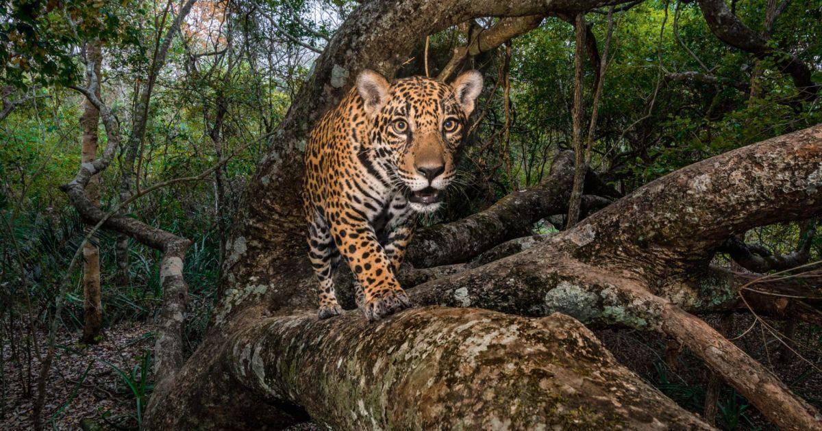 10-місячний ягуар повертається до безпечного дерева в Бразильській області Пантанал, найбільший у світі болотний курган.