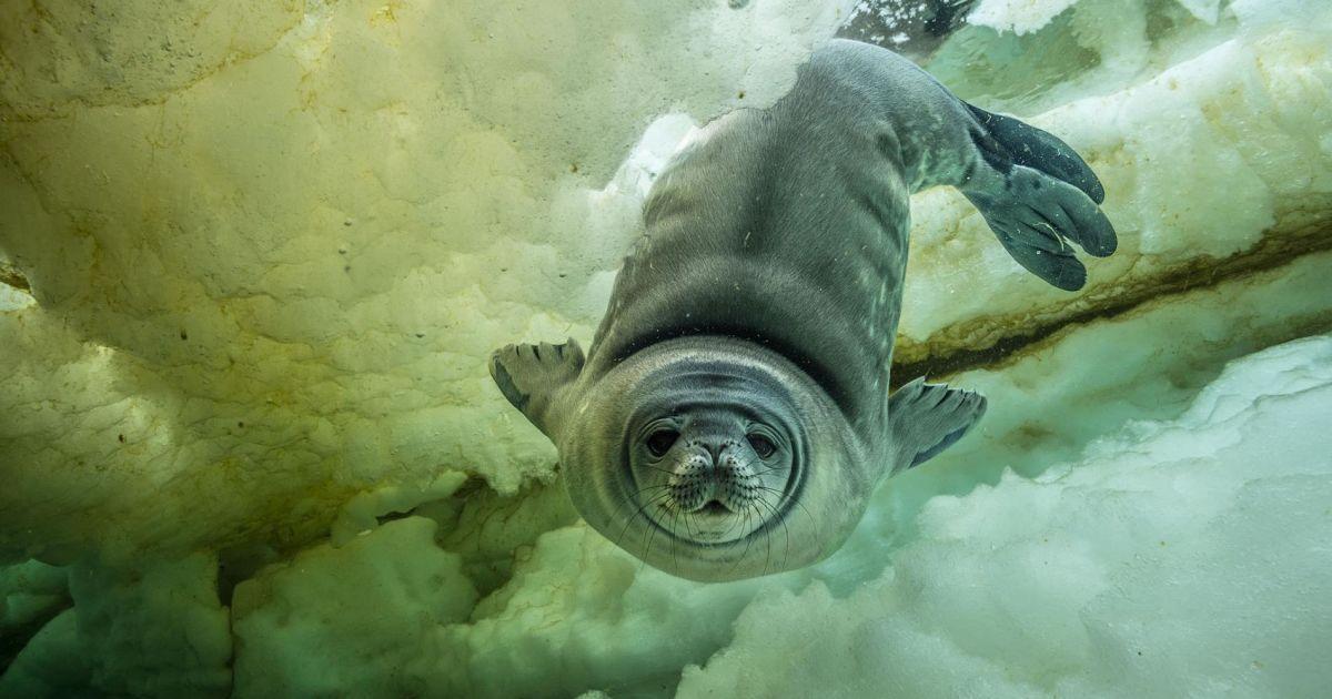 Молодий тюлень, який імовірно занурився у своє перше плавання.