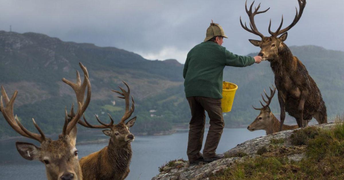 Поселення оленів в Шотландії – самців годують, щоб стимулювати ріст рогів.