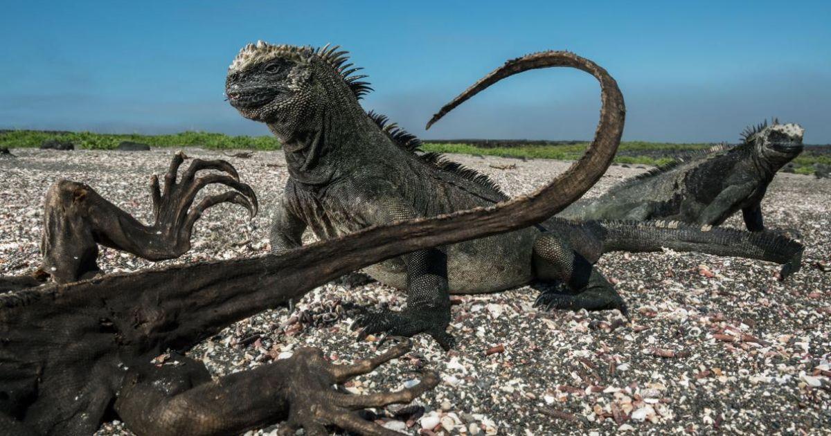 Дві морські ігуани поруч з ігуаною-мумією на острові Фернандіна.