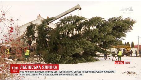 Главной елкой Львова стала 50-летняя красавица, подаренная жительницей Брюховичей