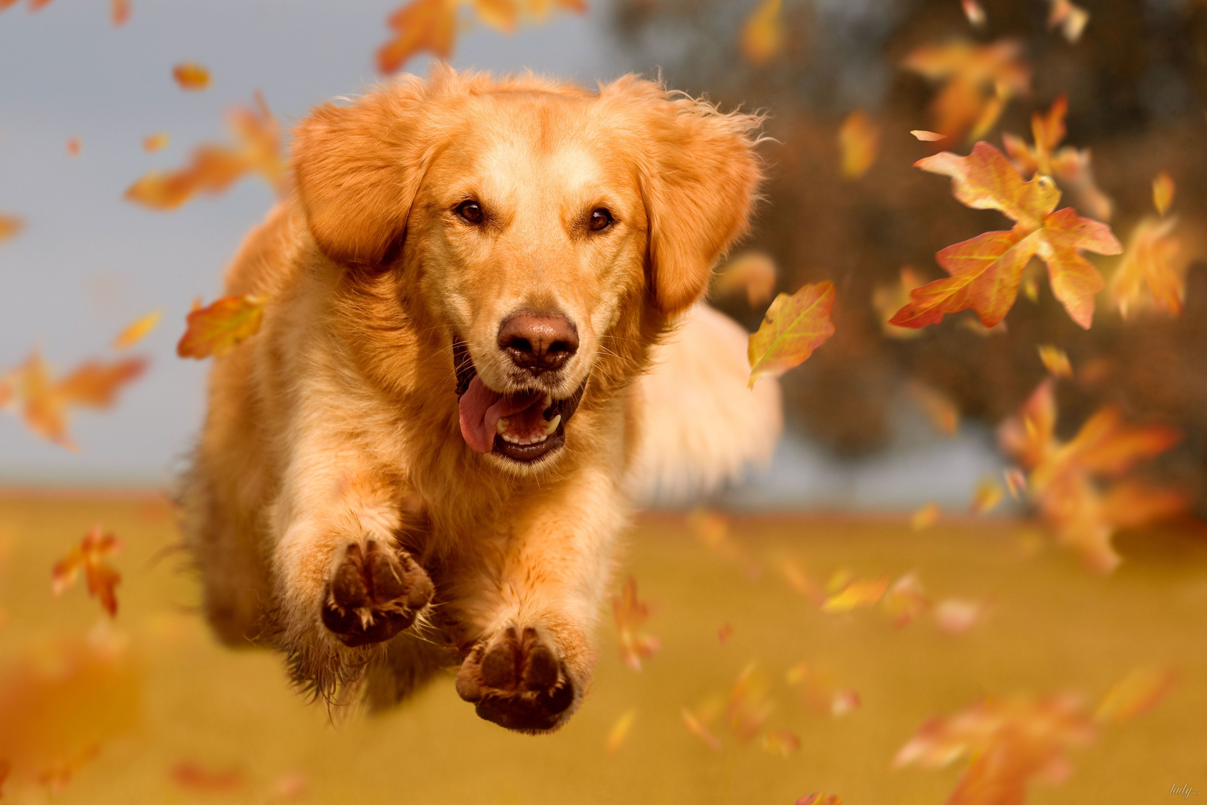 Золотистый ретривер, собака