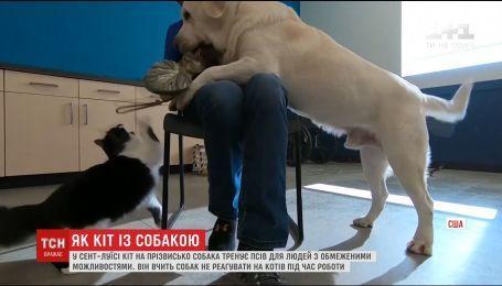 В американском Сент-Луисе кот тренирует собак для людей с инвалидностью