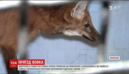 В Николаевский зоопарк доставили краснокнижного гривистого волка