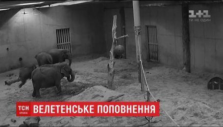 В бельгийском зоопарке родился 100-килограммовый слоненок