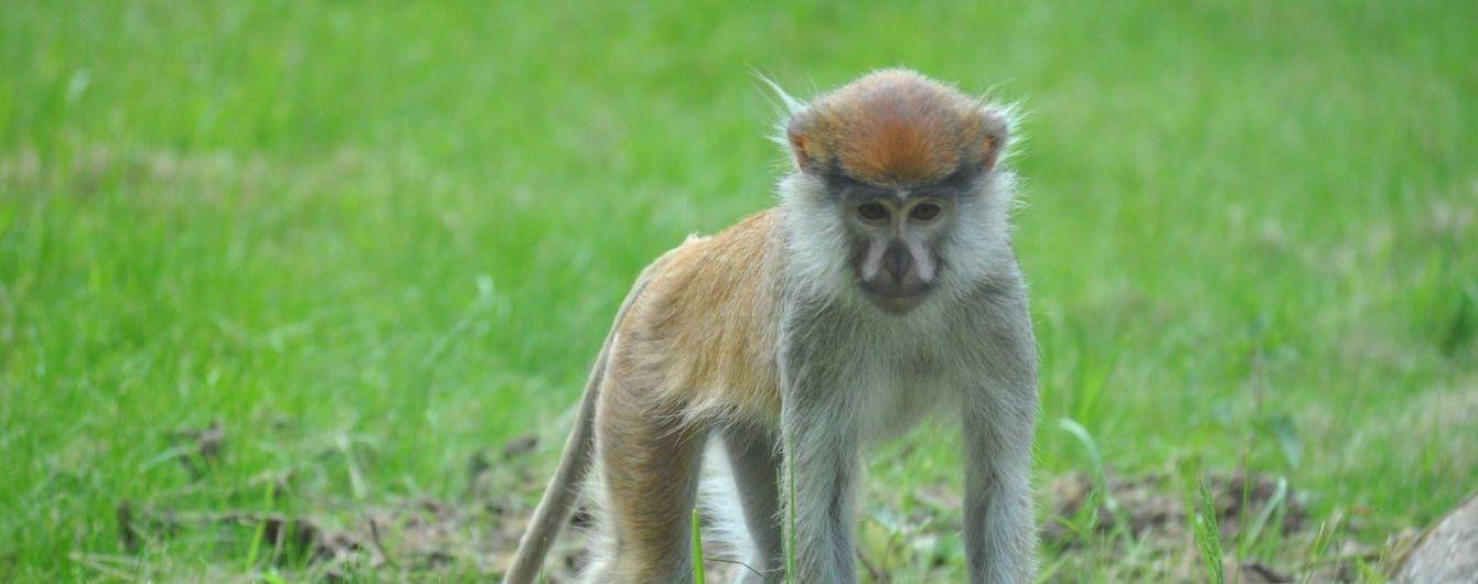 У Індії мавпа вирвала 12-денне немовля з рук матері і вбила його