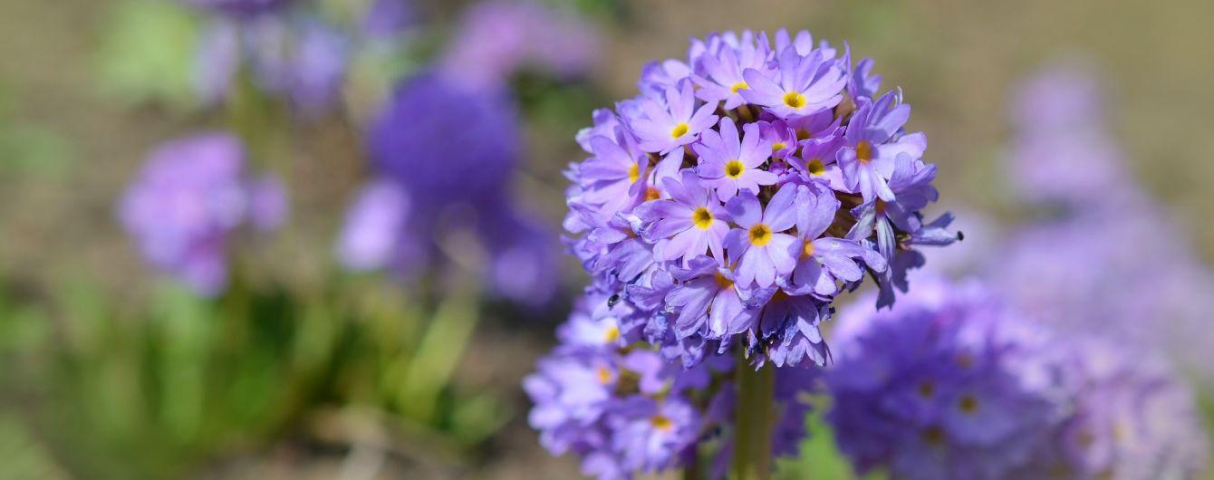 У Криму в перший день нового року розквітли первоцвіти