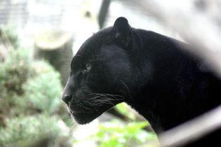У Росії пантера на смерть загризла українця - ЗМІ
