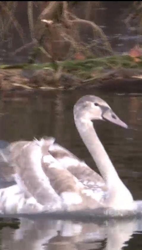 Невідомі познущалися із лебедів на Рівненщині