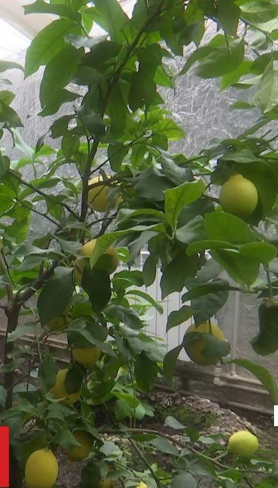 У буковинській теплиці чернівчанин створив тропічний сад